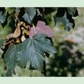 Acer-pseudoplatanus-Atropurpureum