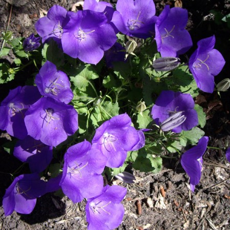 Campanula-carpatica-blue-with-lots-of-flowers