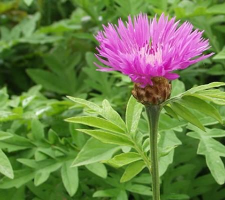 Centaurea_dealbata_Kaukasus-Flockenblume