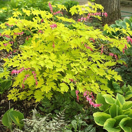 Dicentra-Gold-Heart-935