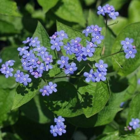 H13%20Brunnera-macrophylla-1