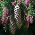 Picea-abies-Cruenta käbid