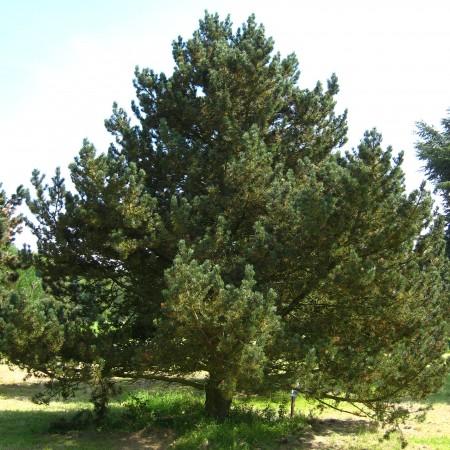 Pinus_uncinata_tree