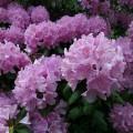 Rhododendron-catawbiense--BlueRidgeKitties--cc-by-nc-sa-2-0
