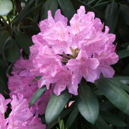 Rhododendron_catawbiense_a2