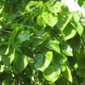 Tilia-euchlora5