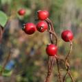 kleine rosa Blüten, rote, kugelige Hagebutten im Herbst, kleines zierliches Blattwerk