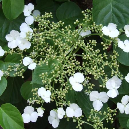 roniv hortensia