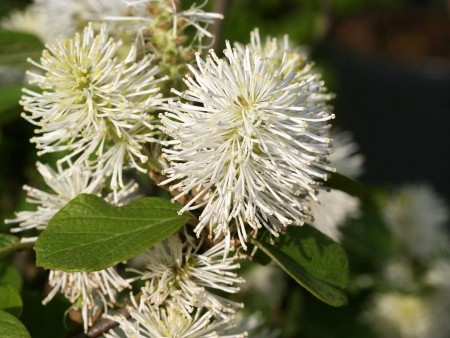 Fothergilla_major_flowers_photo_file_PDB_126KB