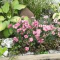 dianthus-gratianopolitanus-flavora-rose-shades-l3310-1