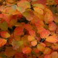 fothergilla-major-mt-airy-close-up-of-nobember-foliage-SHRUB