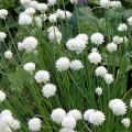 Allium schoenoprasum album