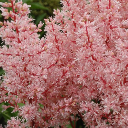 astilbe-look-at-me-photo-compass-plants