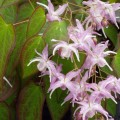 epimedium_grandiflorum_lilac_form_a
