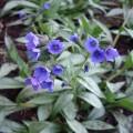 pulmonaria-samourai-flowers-may-26