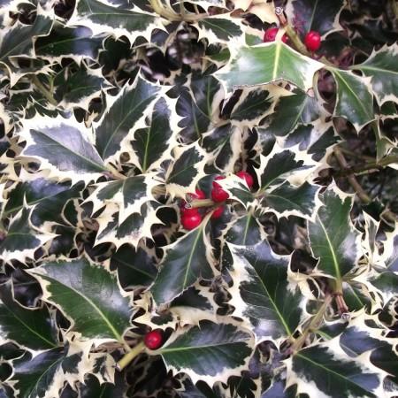 Ilex-aquifolium-Argentea-Margi-2