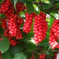 Schisandra-Chinensis-Fruit
