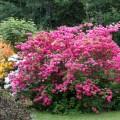 rhododendron_homebush