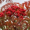 sorbus_chinese_lace