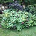 Rubus-odoratus-Ellen-Parker-Menounos