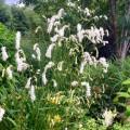 Sanguisorba_tenuifolia_var._alba_2_1024x1024