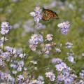 aster-oolentangiensis-sky-blue-aster_monarch-honeybee_467x705