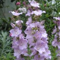 campanula-latiloba-Hidcote-Amethyst-2a