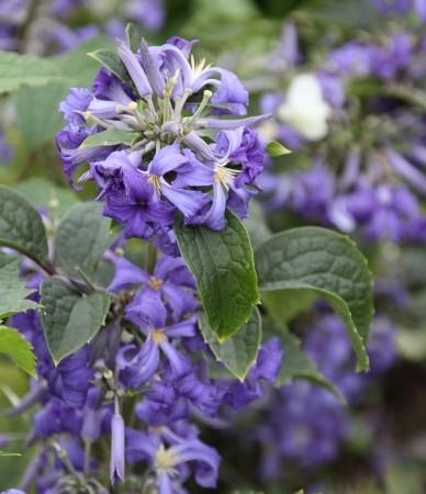 clematis_heracleifolia_cassandra_-_struikclematis