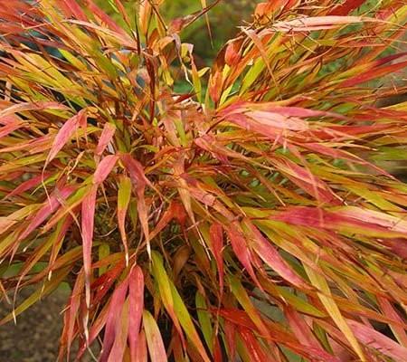 siergrassen-ornamental-grasses-hakonechloa-macra-n