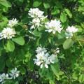 ame_aln_MeggarattheEnglishlanguageWikipedia_Saskatoonberry_floweringsm