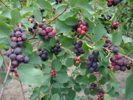 amelanchier-alnifolia-Forestburg-owoce06698
