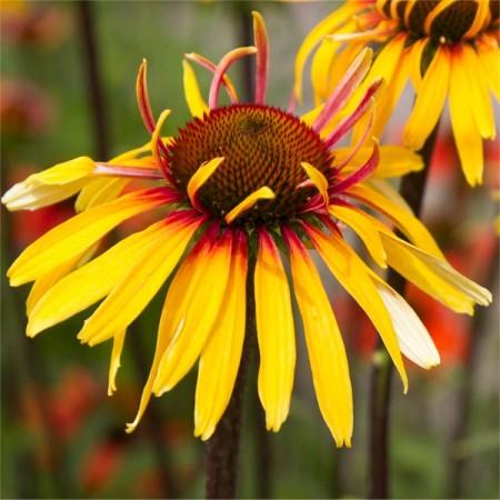 echinacea-funky-yellow-web-750x750