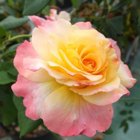 rosa-aquarell