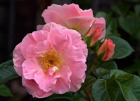 88da67.pink-robusta