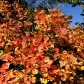 Cotinuscoggygria'Ancot'GoldenSpirit131021a-L