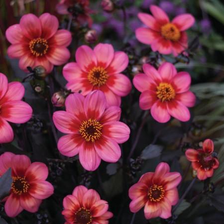Dahlia-x-hybrida-Dahlegria-Red-Pink-Bicolour_31059_5