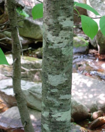 Fraxinus (chinensis) var. rhynchophylla bark