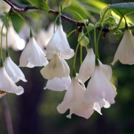 Halesia-carolina-BLOOM-931x559