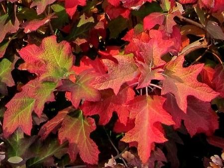 Hydrangea-quercifolia--K-M--CC-BY