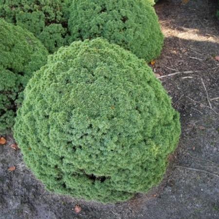 Picea_glauca_Alb_Globe1_big
