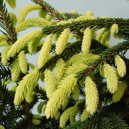 Picea_orientalis_Aurea_GR_Q1