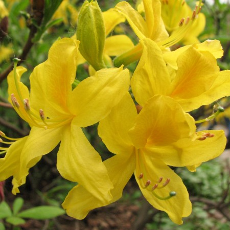 Rhododendron_luteum_02