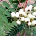 Sorbus-cashmiriana-Kashmir-Rowan-Trees_746_7