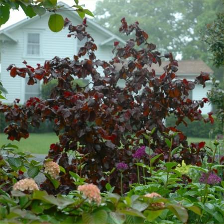 corylus-red-majestic-foliage-shrub1000x1000