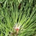 pinus-nigra-subsp-nigra-leaves-1