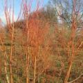 tilia-cordata-winter-orange-multi-stem-3