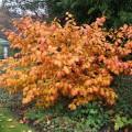 farbintensiver Winterblüher mit süßlichem Duft