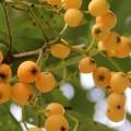 sorbus-x-arnoldiana-golden-wonder-fruits-2