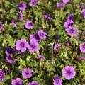 GERANIUM_Daily_Purple_(5)