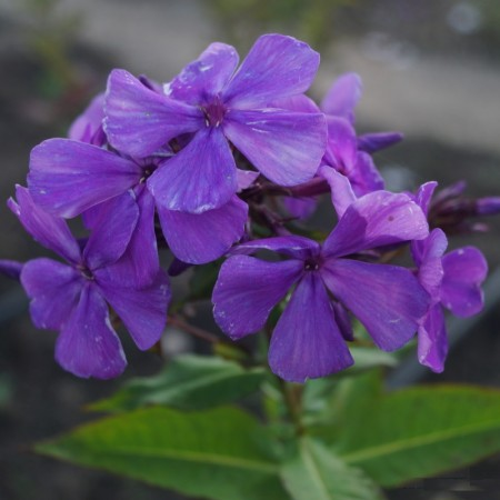 Phlox-'Blue-Moon'-2-1